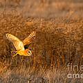 Golden Flight by Alice Cahill