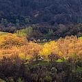 Golden Forest by Alexandru Bobica