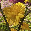 Golden Glory - Azalea by Jane Eleanor Nicholas