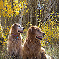 Golden Goldens - Golden Retriever Brothers - Casper Mountain - Casper Wyoming by Diane Mintle