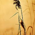 Golden Grain Silhouette by Larry Ricker
