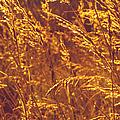 Golden Grass  by Jenny Rainbow