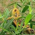 Golden Grasshopper by Joshua Bales