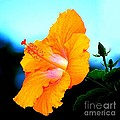 Golden Hibiscus by Catherine Sherman