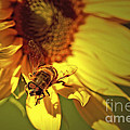 Golden Hoverfly 2 by Sharon Talson