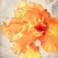 Golden Iris 2 by Jai Johnson