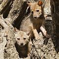 Golden Jackal Canis Aureus Cubs by Eyal Bartov