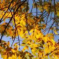 Golden Leaf Cascade by Joseph Hedaya