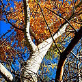 Golden Leaves II by Kathy Sampson