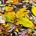 Golden Leaves by Ruth Faircloth