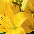 Golden Lilies by Regina Geoghan