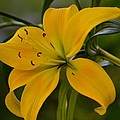 Golden Lily Sway 2013 by Maria Urso