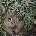 Golden Mantled Ground Squirrel    Callospermophilus Lateralis by Carol Gregory
