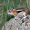 Golden Mantled Ground Squirrel by Anthony Mercieca