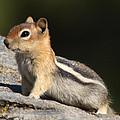 Golden-mantled Ground Squirrel by David Salter