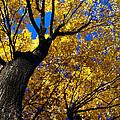 Golden Maple 7 by Linda Shafer