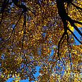 Golden Maple 8 by Linda Shafer