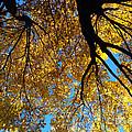 Golden Maple 9 by Linda Shafer