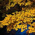 Golden Maples by Steve Stuller