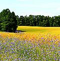 Golden Meadow by Tina Meador