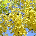 Golden Medallion Shower Tree by Mary Deal