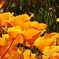 Golden Orange by Sheryl Young
