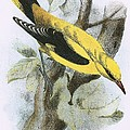 Golden Oriole by English School