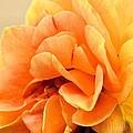 Golden Peach Rose by Maria Urso