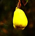 Golden Pear by Image Takers Photography LLC - Carol Haddon