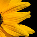 Golden Petals by Penny Meyers