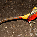 Golden Pheasant Male by Anthony Mercieca
