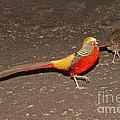 Golden Pheasant Pair by Anthony Mercieca