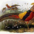 Golden Pheasants by Joseph Wolf