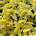 Golden Poinsettias by Catherine Sherman