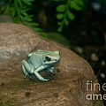 Golden Poison Frog Mint Green Morph by Mark Newman