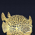 Golden Puffer Fish On Charcoal Black by Serge Averbukh