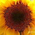 Golden Ratio Sunflower by Kerri Mortenson