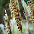 Golden Reeds by Holly Blunkall