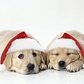 Golden Reriever Puppies, 7 Weeks Old by John Daniels