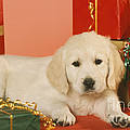 Golden Retriever Amongst Presents by Johan De Meester