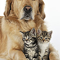Golden Retriever And Kittens by John Daniels