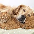 Golden Retriever And Orange Cat by John Daniels