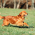 Golden Retriever by David N. Davis
