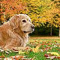 Golden Retriever Dog Autumn Day by Jennie Marie Schell