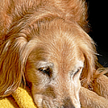Golden Retriever Dog On The Yellow Blanket by Jennie Marie Schell