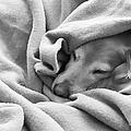 Golden Retriever Dog Under The Blanket by Jennie Marie Schell
