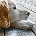 Golden Retriever Dog Waiting by Jennie Marie Schell