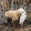 Golden Retriever Dog With Mallard Duck by John Daniels