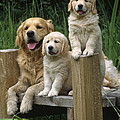 Golden Retriever Dog With Puppies by John Daniels