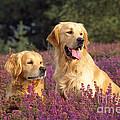 Golden Retriever Dogs In Heather by John Daniels